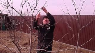 видео Как правильно обрезать деревья груш и яблонь весной