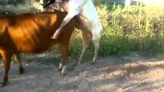 La vache la plus pète LOL