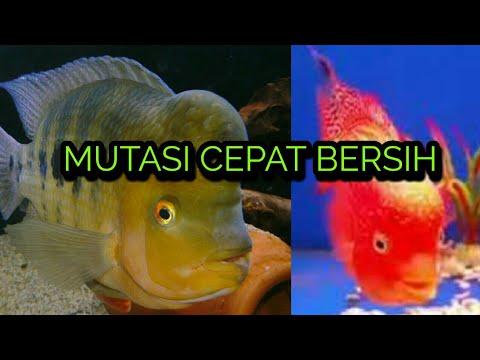 Cara Mempercepat Mutasi Pada Ikan Louhan Gb Youtube