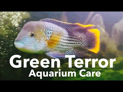 Fish Care: Green Terror Cichlid - Size & Growth
