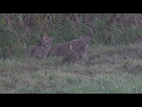 Incredible Coyote Hunt