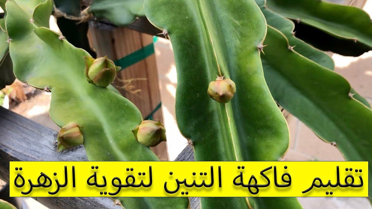 تقليم فاكهة التنين لتقوية الزهرة