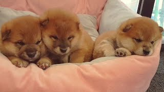 Adorbest thing you'll see today. Promise! 🥔🥔🥔 Shiba Inu puppies