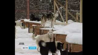 Ездовые собаки в Карелии
