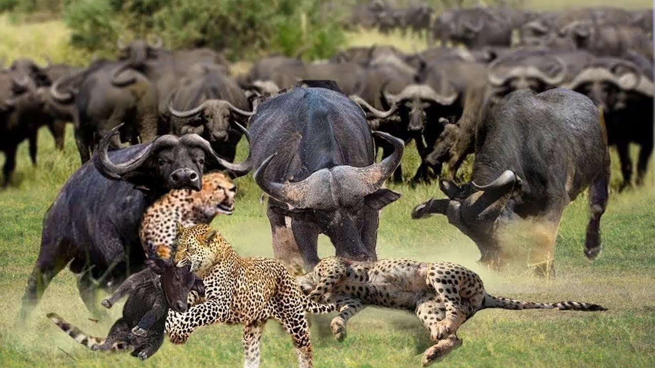 Aggressive forest BUFFALO Attack LEOPARD to save the Child - Monkey vs Python, KOMODO