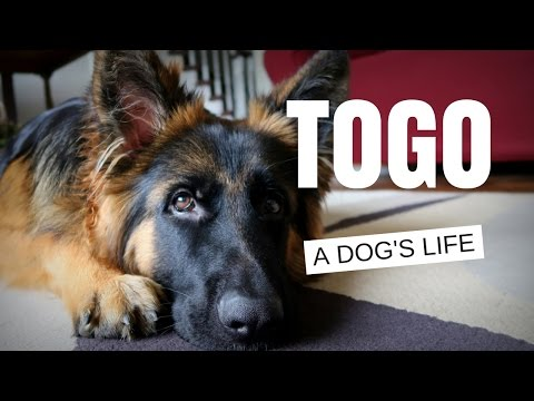 German Shepherd - A Dog's Life (Meet Togo)