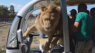 Lion Gets Way Too Close to Tourists on Safari