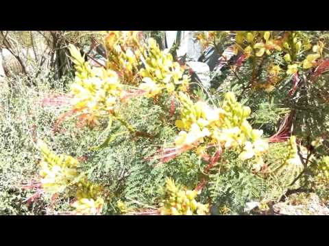 What Is The Yellow Bird Of Paradise Gilliesii