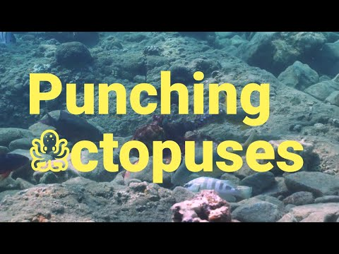 Octopus Punch other Coral Reef Fish while Hunting for Food