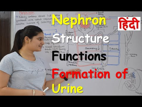 Nephron in Hindi   Structure   Functions   Urine formation ...