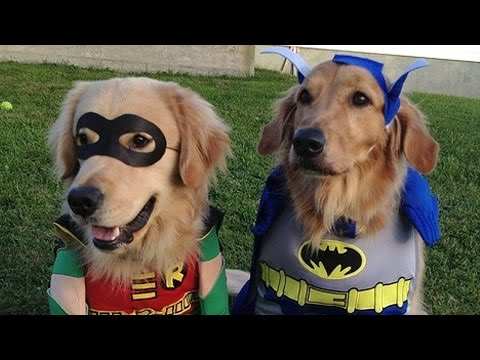 Dogs performing and singing the batman intro