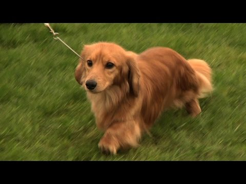 Hound Association of Scotland Championship Dog Show 2014 - Round up