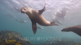 Cape fur seals swimming over rocky reef