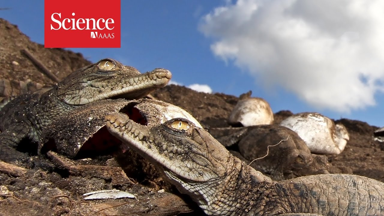 Something is changing the sex of Costa Rican crocodiles
