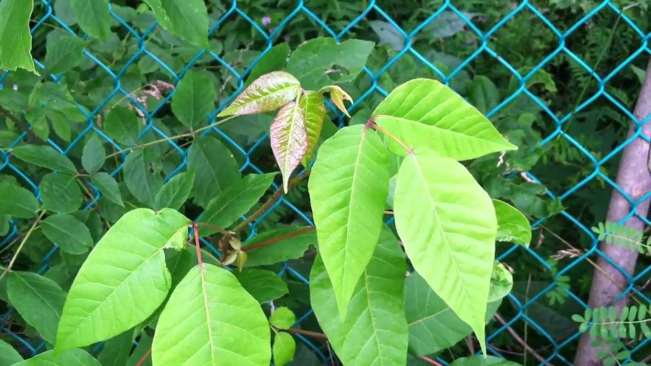 poison ivy identification tips   youtube
