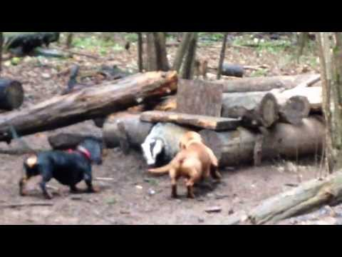 Dachshund (Chuka) And Badger/Такса (Чука) и барсук