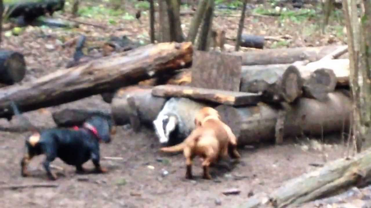 dachshund chuka and badger Такса Чука и барсук youtube