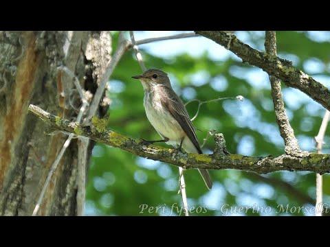 Pigliamosche - Spotted Flycatcher (Muscicapa striata)