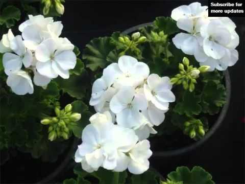 White Geranium   Collection Of White Folwer Pics - Phula ...