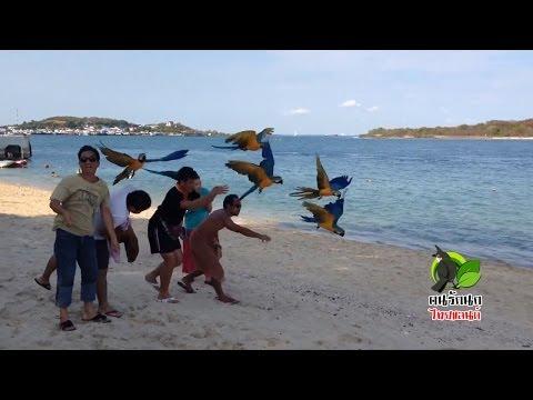 นกแก้ว - มาคอร์ แอฟริกันเกรย์ เรดโนรี (ปล่อยบินอิสระ)