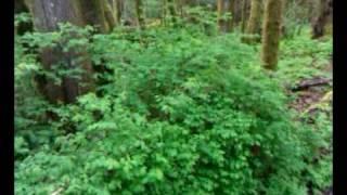 Snowberry, Pacific Waterleaf, Eugene, Oregon