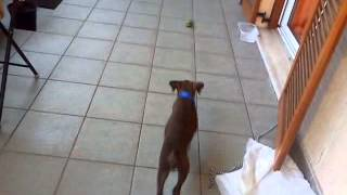 Ivan 2 Month Boxer Dog Playing With Lemon