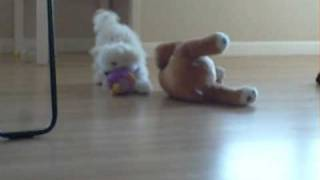 Maltese Poodle Puppy Play