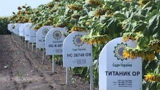 Врожайність соняшника в господарстві «Сади України» стабільно зростає