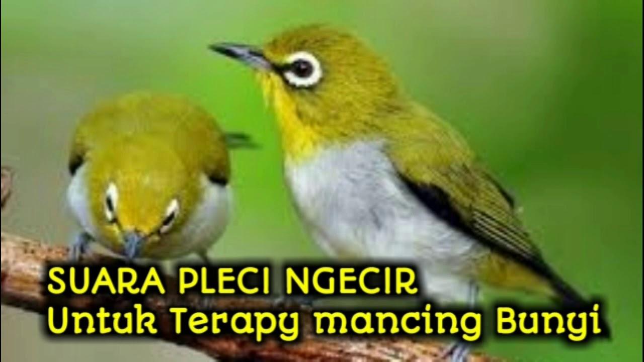 Suara Burung Pleci Ngecir Untuk Mancing Bunyi Youtube