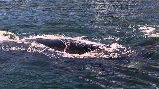A big whale in Australia
