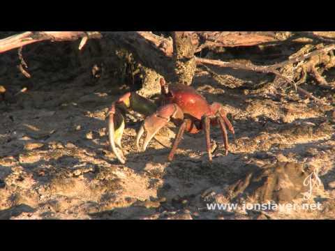 Diego Garcia Land Crab