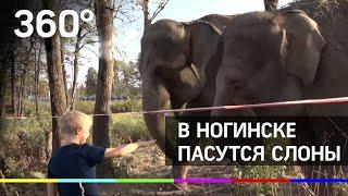 Слоны гуляют по улицам Ногинска!