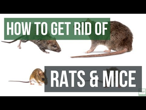 how-to-get-rid-of-rats-and-mice-guaranteed--4-easy-steps