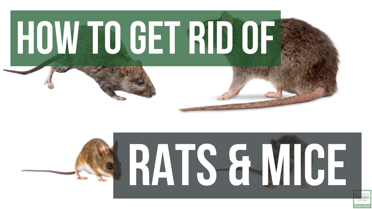 How To Get Rid Of Ratice Guaranteed 4 Easy Steps