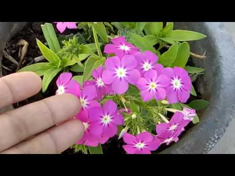 326 How To Collect N Save Phlox Seed Hindi Urdu 6 3 17