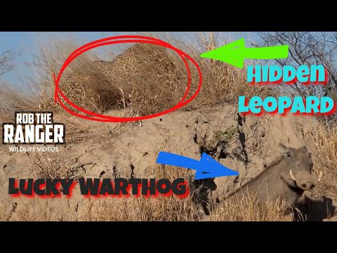 Male Leopard Fails To Catch A Warthog After Waiting For Hours!