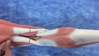Venosa anatomía pierna izquierda