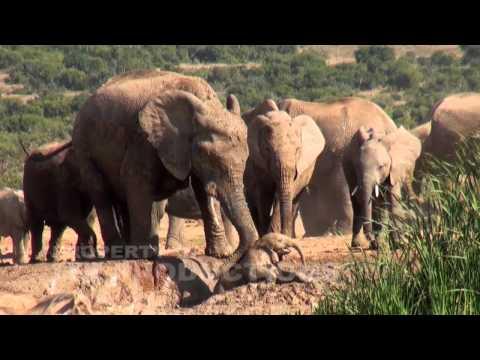 Baby Elephant Screams for Help