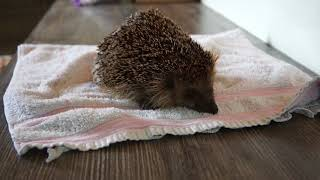 Hedgehog mum enjoys bath and massage