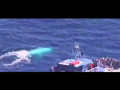 #EnRedesSociales Aparece en Australia una ballena blanca de la especie que inspiró 'Moby Dick'