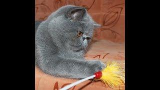 Экзот (экзотический короткошерстный) кот Рокки