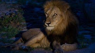 НОЧЬ ЛЬВА! Документальные фильмы, фильмы о львах
