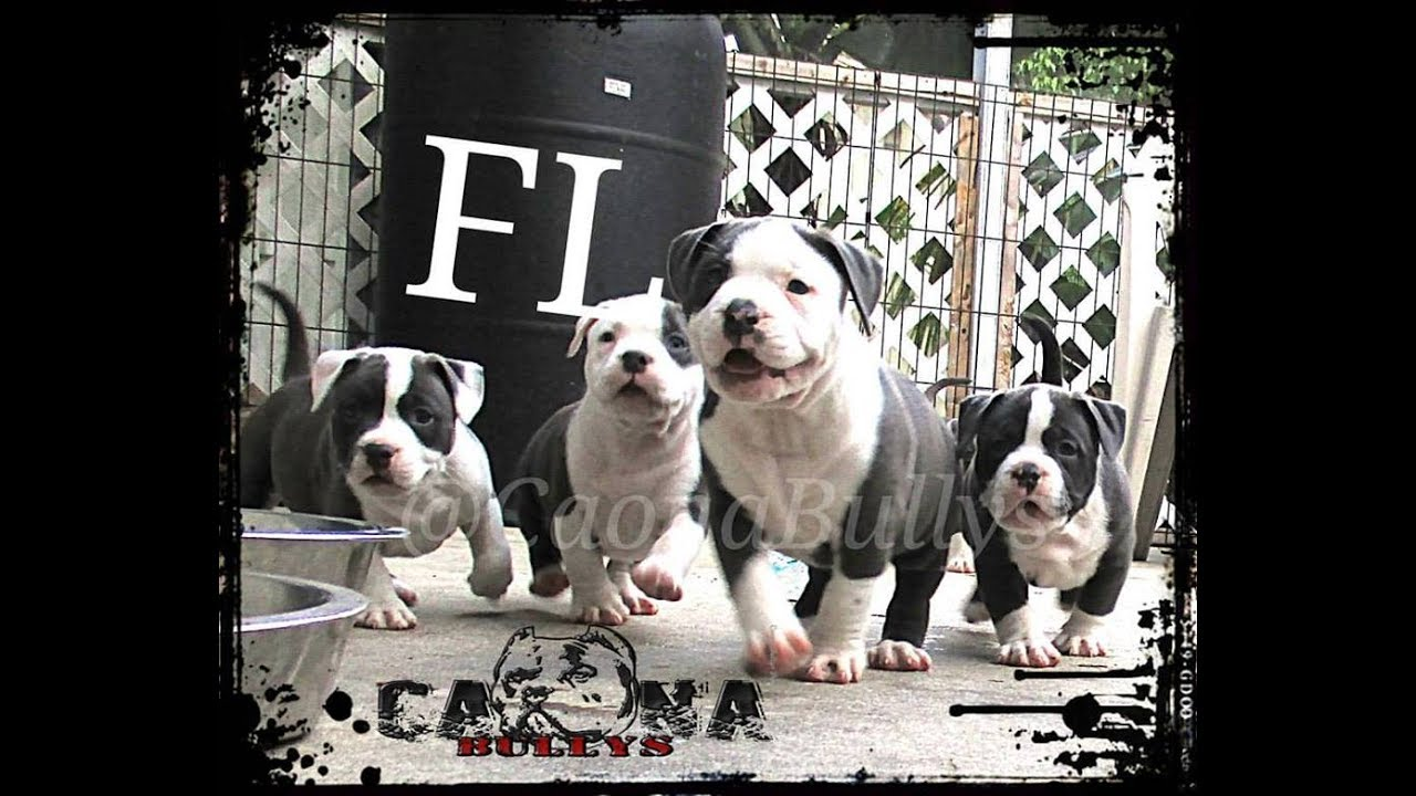 American Bully Puppies at 7 weeks old  Last video together at Caona Bully  Kennels :(