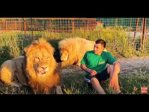 Как ЛЬВЫ ВСТРЕТИЛИ сотрудников зоопарка?!