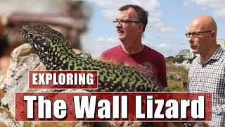 Looking for a non-native species of lizards in Shoreham, West Sussex.