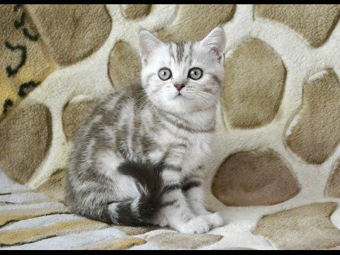 Шотландские мраморные котята, помёт Н (ч.1)