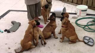 Bullmastiff Pups Having A Snack For Sale Aug 10