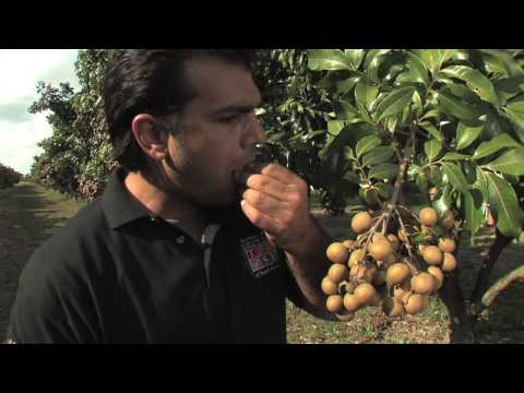 Longans with the Tropical Fruit Growers of South Florida