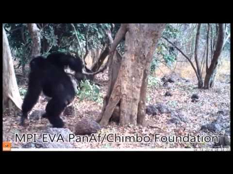Chimpanzee accumulative stone throwing