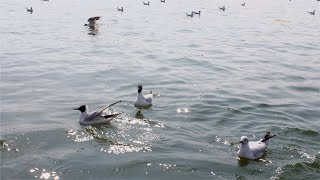A flock of black-headed gulls and its species resting in a lake - beautiful nature concept
